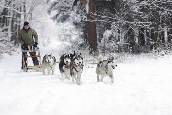 Excursion en chiens de traîneau au Québec au Canada