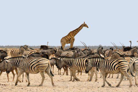 Vivez l'expérience des safaris en Namibie
